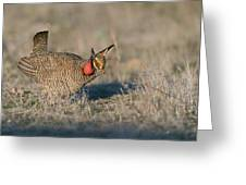 Lesser Prairie Chicken Greeting Card