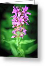 Lesser Purple Fringed Orchid Greeting Card