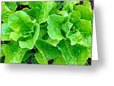 Lettuces Greeting Card
