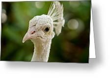 Leucistic Peacock Greeting Card by Richard Reeve