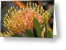 Leucospermum Muirii Greeting Card