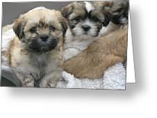 Lhasa Apso Puppy Painting Greeting Card