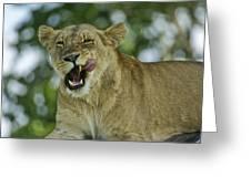 Licking Lion Greeting Card