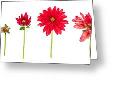 Life And Death Of A Dahlia Greeting Card