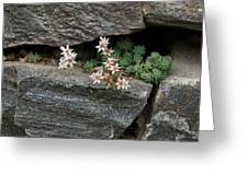 Life On Bare Rock - Pale Pink Succulents On The Wall Greeting Card