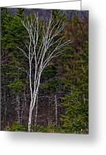 Life's A Birch No.1 Greeting Card