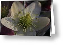 Light And Shadow Hellebore Flower Greeting Card