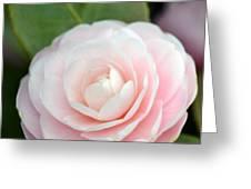 Light Pink Camellia Flower Greeting Card