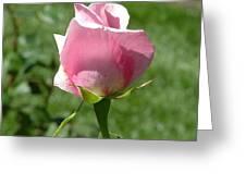 Light Pink Rose Close-up Greeting Card