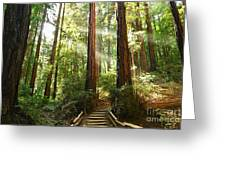 Light The Way - Redwood Forest Of Muir Woods National Monument With Sun Beam. Greeting Card