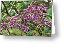 Lilac Buds Cluster Greeting Card