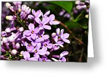 Lilac Bush In Spring Greeting Card