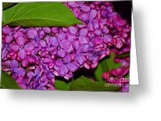 Lilac In The Dark Greeting Card