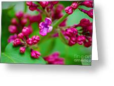 Lilac Opening Greeting Card