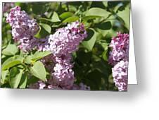 Lilacs 5544 Greeting Card