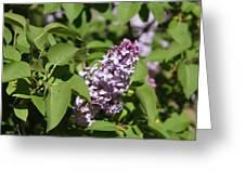 Lilacs 5551 Greeting Card