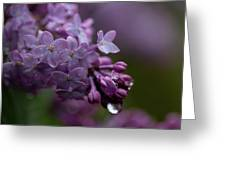 Lilacs After Rain Greeting Card