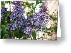 Lilacs In Spring Greeting Card