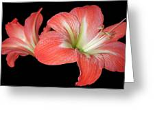 Lilly 3 Greeting Card