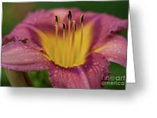 Lily Bloom Close Up Greeting Card