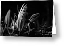 Lily Bud At Night Greeting Card