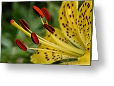 Lily Center Greeting Card by William Selander
