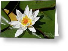 Lily Floating On Pond IIi Greeting Card
