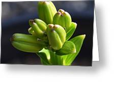 Lily Growth  Greeting Card