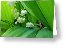 Lily Of The Valley Greeting Card by Jeremy Hayden