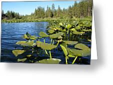 Lilypads On Amber Lake Greeting Card