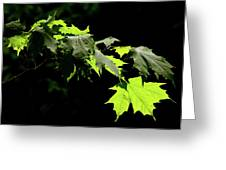 Limelighted Maples Greeting Card