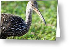 Limpkin Checking For Snails. Greeting Card