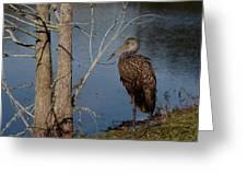 Limpkin  Greeting Card