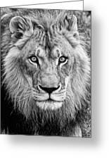 Lion Bw Greeting Card