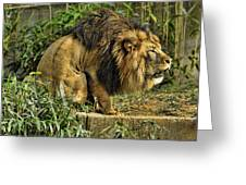Lion Calling Females Greeting Card