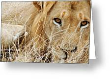 Lion Considering Irish Tartare Greeting Card