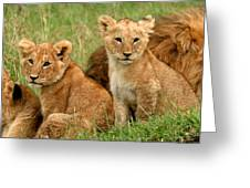 Lion Cubs - Too Cute Greeting Card by Nancy D Hall