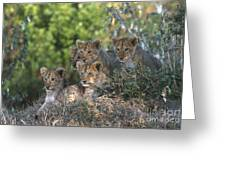 Lion Cubs Awaiting Mom Greeting Card