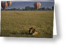 Lion Ignores Balloons Greeting Card