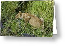 Lion In A Cool Glade Greeting Card