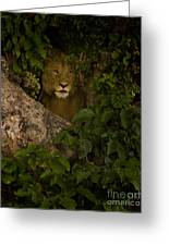Lion In A Tree-signed Greeting Card