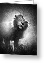 Lion Shaking Off Water Greeting Card
