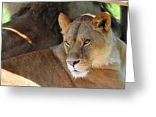 Lioness 3 Greeting Card