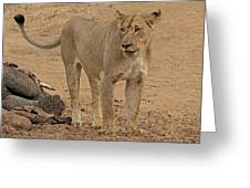 Lioness At The Kill Greeting Card