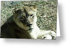 Lioness Peering Greeting Card