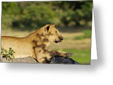 Lioness Pose Greeting Card