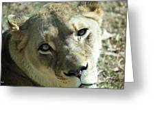 Lioness Up Close Greeting Card