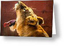 Lioness Yawn Greeting Card