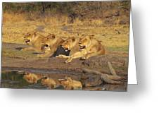 Lionesses Greeting Card