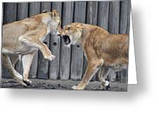 Lioness's Playing 1 Greeting Card